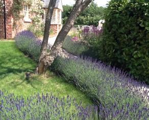 Lavender Hedge in Summer