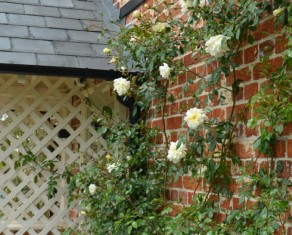 Rose Alberic barbier on a sunny wall