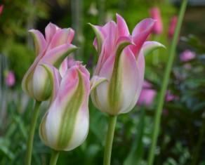 Tulip Florosa