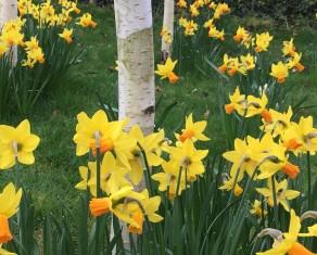 Narcissi Jetfire amongst Siver Birch