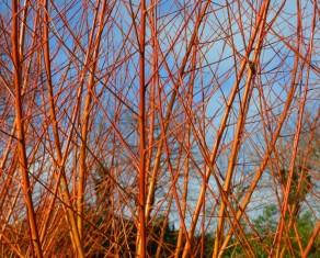 Willows detail